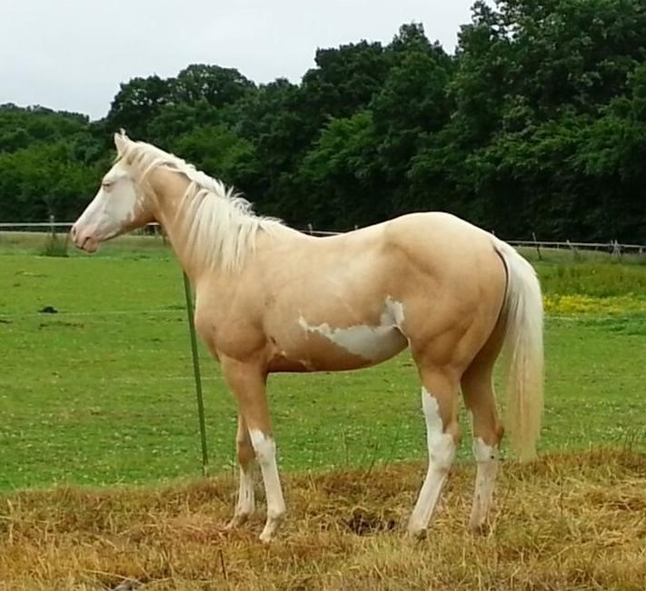 pv lady justice paint horse de l'elevage PaintValley